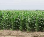 Auguran buena cosecha en la región de Ribereña