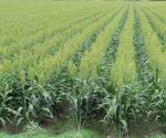Cultivos se desarrollan sanos gracias al clima