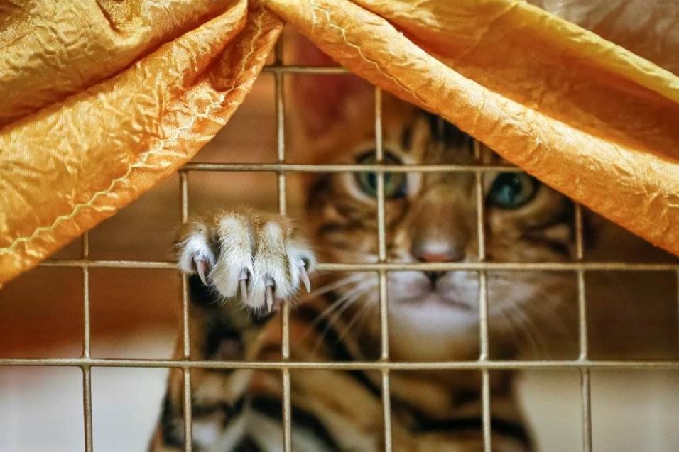 Un gatito de Bengala observa dentro de una jaula durante una exhibición local de gatos en Almaty (Kazajistán), el 21 de abril de 2018. SHAMIL ZHUMATOV REUTERS