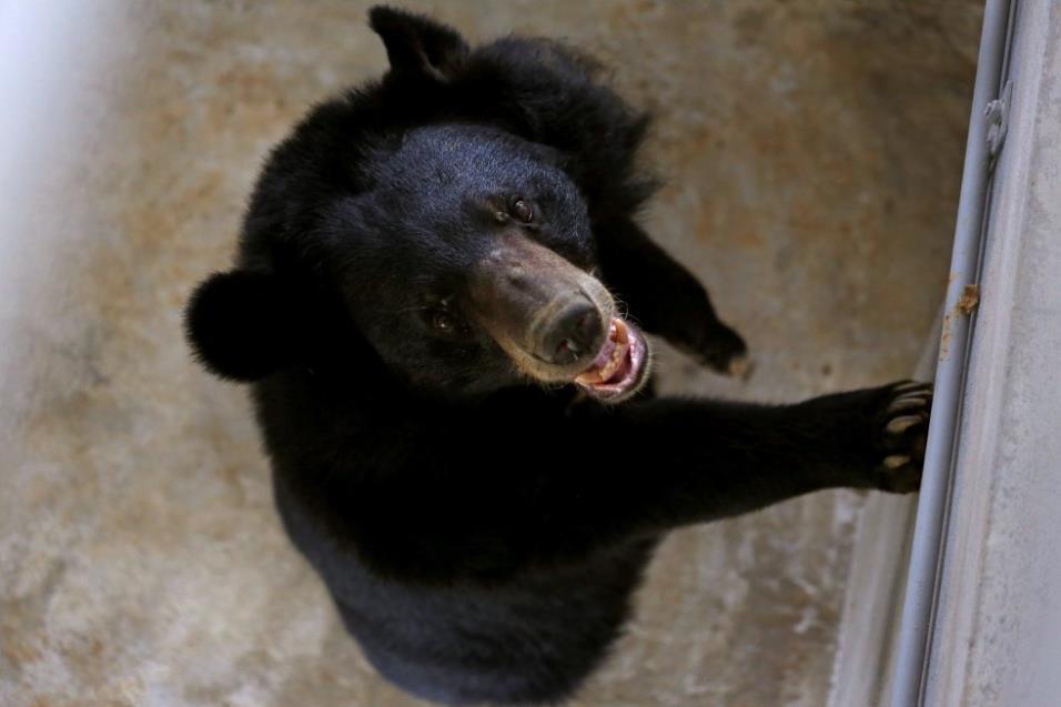 Misa, una hembra de oso lunar, come en un santuario de osos después de ser rescatado en la provincia de Ninh Binh (Vietnam), el 26 de abril de 2018. KHAM REUTERS