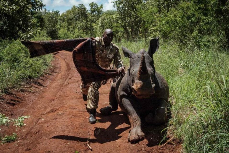 Un guardabosque de Kenia Wildlife Services (KWS) trata de tapar los ojos de la rinoceronte hembra sureña de 2 años y medio, Elia, para calmarla después de recibir un disparo tranquilizante desde un helicóptero durante un ejercicio de identificación en el
