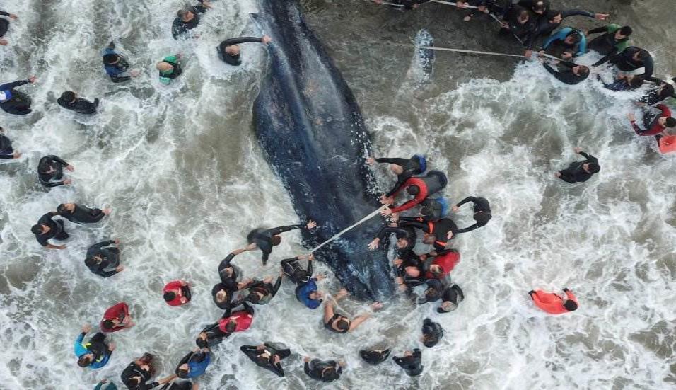Trabajadores de rescate y voluntarios ayudando a una ballena varada en Mar del Plata (Argentina), el 9 de abril de 2018. DIEGO IZQUIERDO AFP PHOTO / TELAM