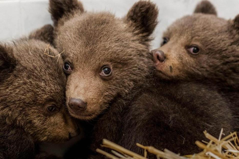 Tres cachorros de oso tras ser rescatados de las montañas Ródope, cerca de Belitsa (Bulgaría), el 22 de abril de 2018. HRISTO VLADEV AFP / FOUR PAWS FOUNDATION