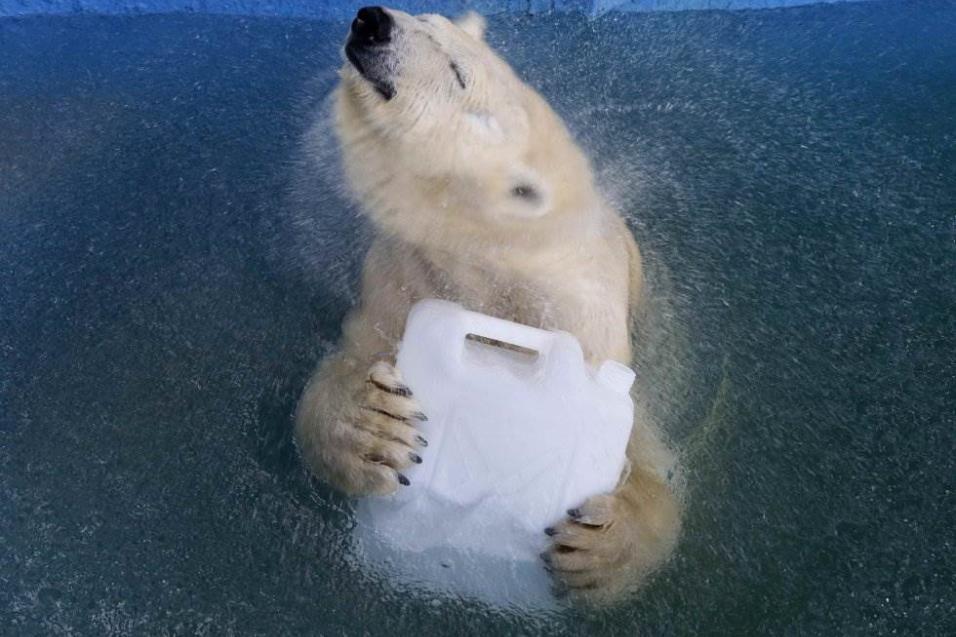 Aurora, un oso polar de ocho años, juega con un bote de plástico en una piscina en el zoológico de Royev Ruchey en Krasnoyarsk (Rusia), el 16 de abril de 2018. ILYA NAYMUSHIN REUTERS