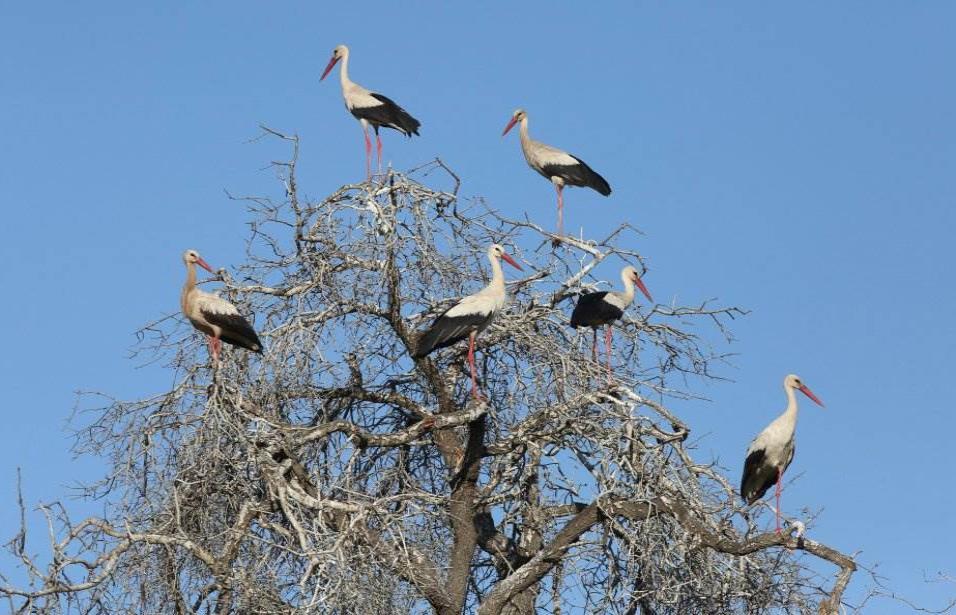 Varias cigüeñas descansan en la rama de un árbol en la ciudad cisjordana de Yenín (Cisjordania), el 24 de abril de 2018. ALAA BADARNEH EFE