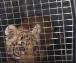 Exhibirá  Zoo tigre rescatado por la PF