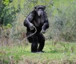 Tienen los chimpancés sus camas más limpias que las nuestras
