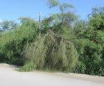 Reportan caída de más árboles