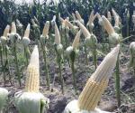 Incertidumbre entre productores ribereños. Alarma por deformación de maíces