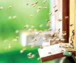 Nueve cosas que quizá no sabías de las abejas y cinco para protegerlas
