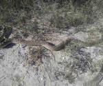 Asechan reptiles en la Villa del Mar