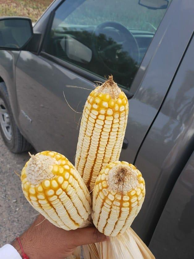 Reportan rendimientos aceptables en maíz