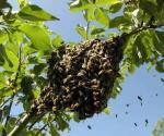 Exhortan a mantener precaución con abejas