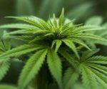 legalizan en Portugal marihuana medicinal