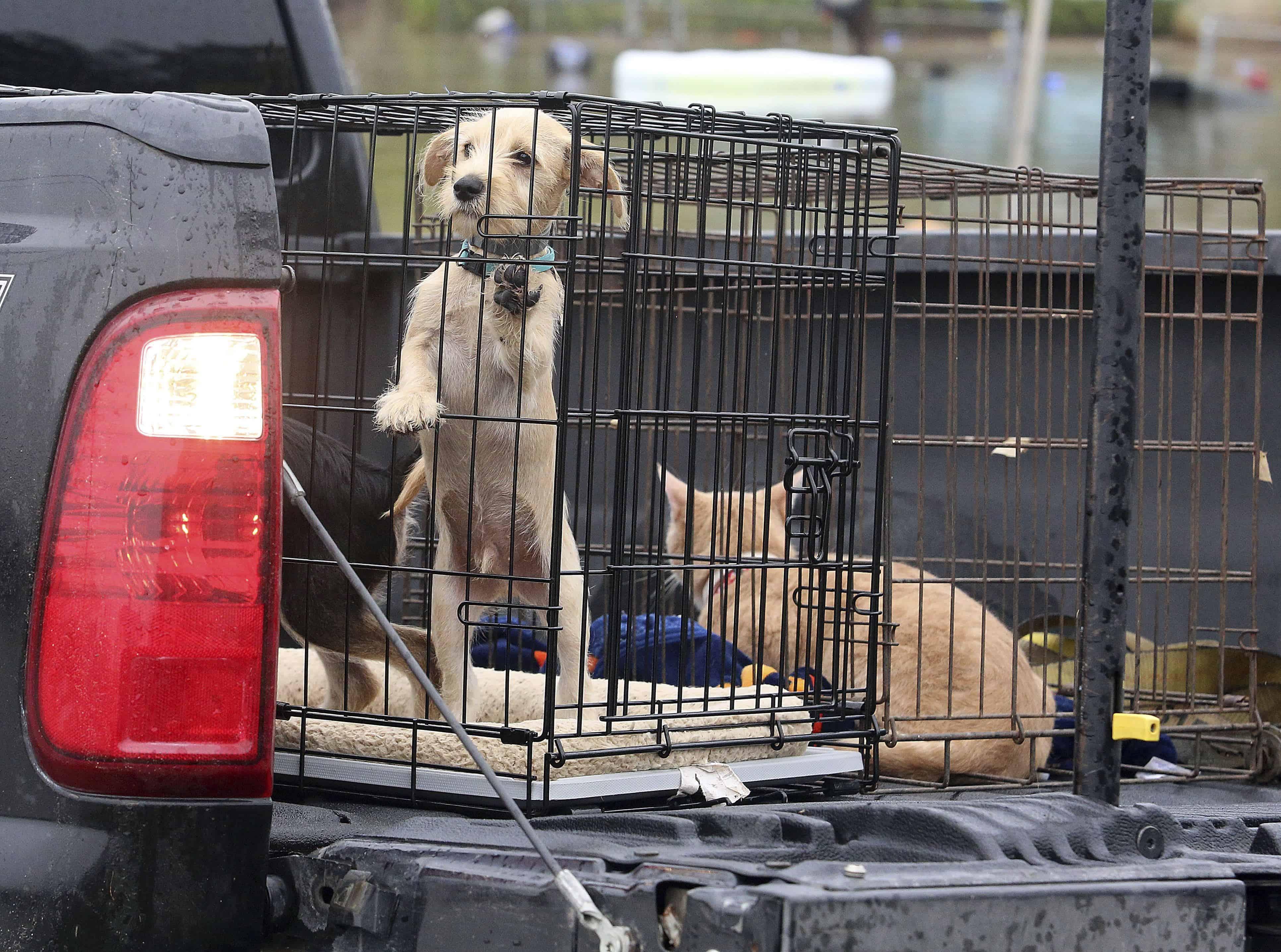 Albertados. Los animales rescatados se sientan en la parte trasera de un camión tras la inundación de sus hogares.