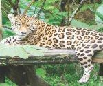 Profepa dona dos jaguares a zoológico de Nuevo Laredo