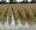 Evalúan daños causados por inundación a cultivos. Estiman afectaciones entre 4 mil y 5 mil hectáreas