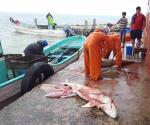 Termina veda de tiburón