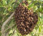 Alertan de ataques de abejas