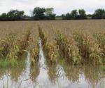 Aún no cuantifican daños en siembras. Cultivos siniestrados por lluvias atípicas