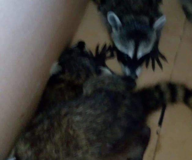 Atrapan a 4 mapaches en un Centro de Salud