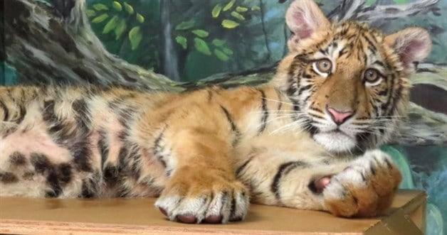 Trasladan a otro zoológico al tigre encontrado en una maleta