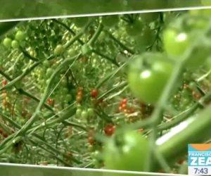 Universitarios crean carro para proteger tomate en invernadero