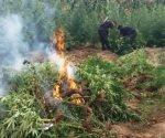 Incineran más de 300 mil plantas de marihuana en Jalisco