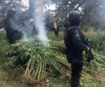 Destruyen 33 mil 600 plantas de marihuana en Guadalajara