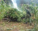 Queman plantío de marihuana en Jalisco