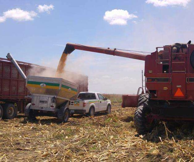 Arrancan las  trillas de maíz