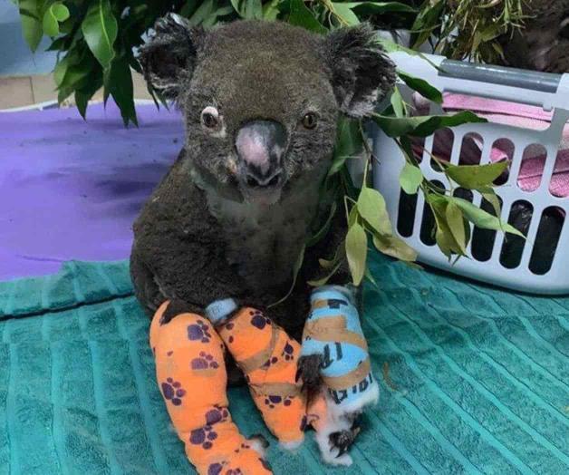 Lewis, el koala rescatado de los incendios en Australia, no logró sobrevivir