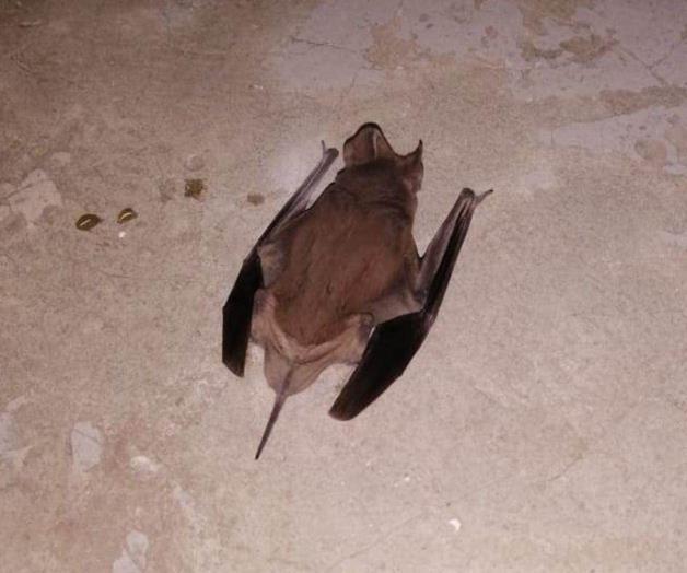 Provoca temor un murciélago