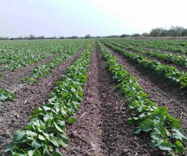 Prevén alzas en el algodón, maíz y soya