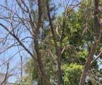 Arrasan árboles de eucalipto