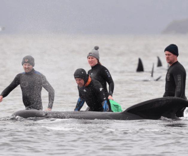 Rescatan a 25 de las 270 ballenas varadas en Australia