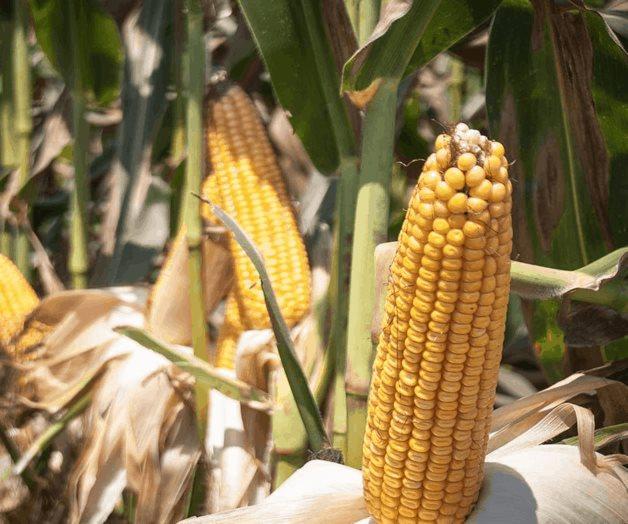 Cobertura al maíz, esencial para apoyo