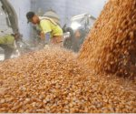 Se amplía plazo para el programa del maíz