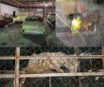 📸  Confiscan autos de lujo, dos tigres y aves exóticas