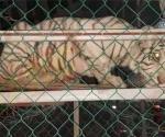 Confiscan autos de lujo dos tigres y aves exóticas